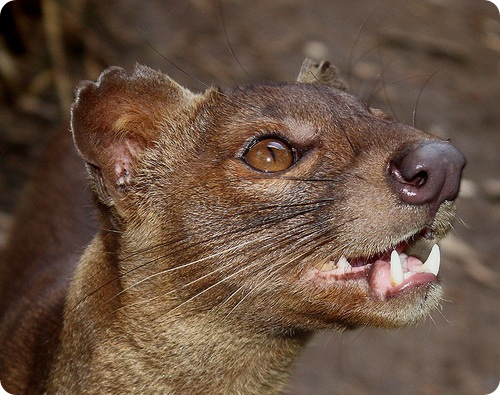 http://www.zoopicture.ru/wp-content/uploads/2009/04/fossa9.jpg