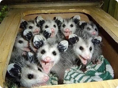 opossum18.jpg