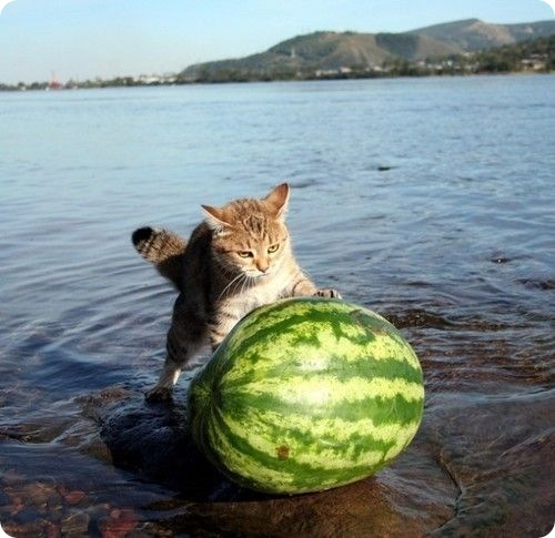 http://www.zoopicture.ru/wp-content/uploads/2009/04/watermeloncat.jpg