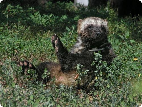 http://www.zoopicture.ru/wp-content/uploads/2009/04/wolverine24.jpg
