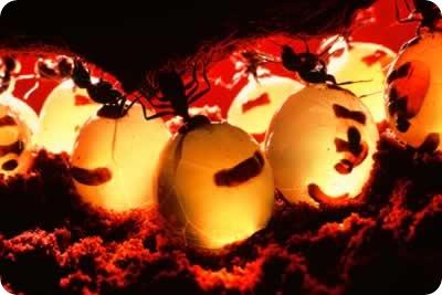 """Отдельный вид муравьев из колонии -  """"медовые бочки """" с большим эластичным..."""