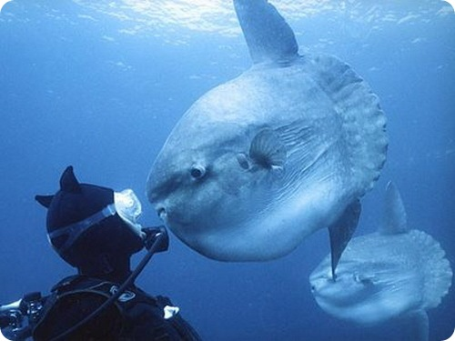 Рыба-луна наводит ужас на рыбаков Южной Африки (10 фото)