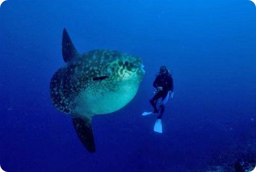 Ученые предполагают, что рыба-луна может достигать достаточно.
