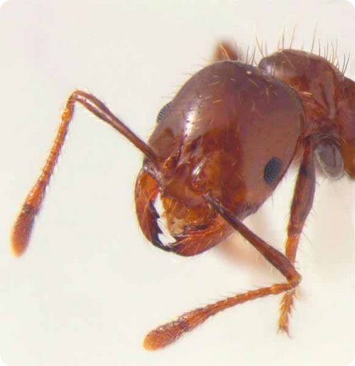 Мухи-фориды привращают муравьев в Зомби