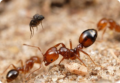 http://www.zoopicture.ru/wp-content/uploads/2009/05/parasitefireants7.jpg