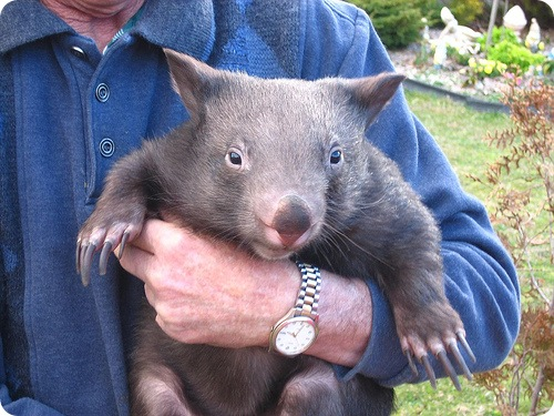 http://www.zoopicture.ru/wp-content/uploads/2009/05/wombat1.jpg