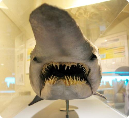 5 Акула-гоблин (15 фото + видео)