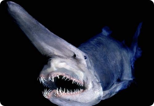 Называется акула-Гоблин.  Максимальный размер чудовища 335.