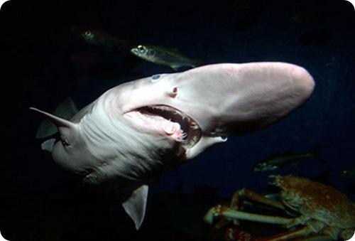http://www.zoopicture.ru/wp-content/uploads/2009/11/goblin_shark_3.jpg