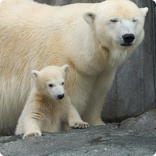 медведь, ошкуй (лат.  Ursus maritimus) - это самый