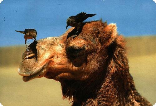 Масса взрослого верблюда составляет 500-800 кг. flickr/Walker123 Это...