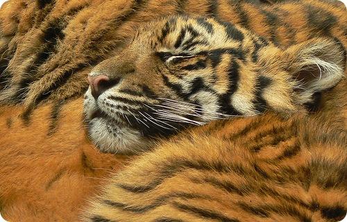 Тигры: какими бывают