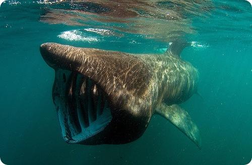 Голову гигантской акулы окаймляют огромные жаберные щели.
