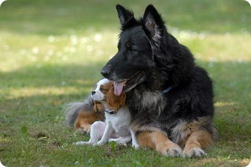 Собака-поводырь для слепой собаки