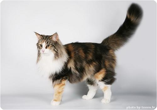 Лесной норвежский кот относится к крупным породам кошек.