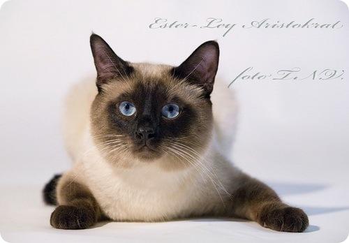 ...котэ, а тайская.  Похожа один в один (ток подушки лапок белые у моей)