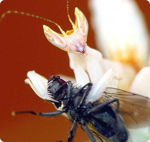 Hymenopus coronatus - Орхидея мира богомолов