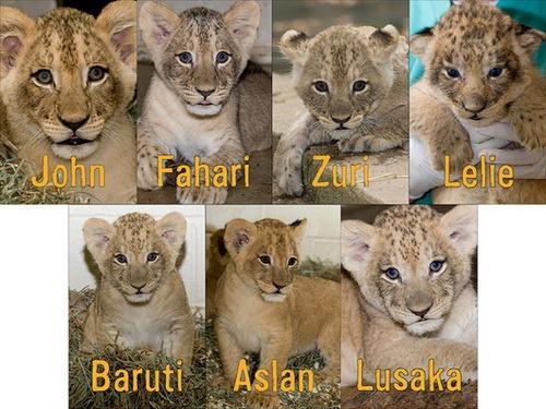 Mehgan Murphy, Smithsonian's National Zoo.  Семеро львят, родившихся в...