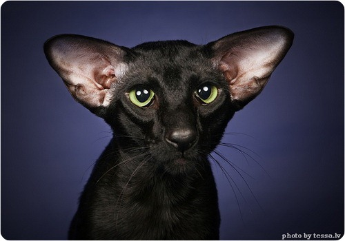 Ориентальные кошки Канадский сфинкс Абиссинский кот Кошки Бамбино УРА.