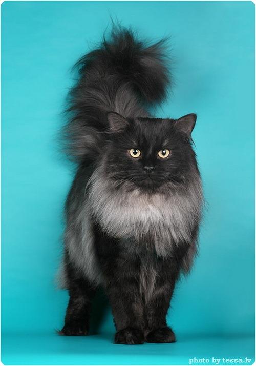 Сибирская кошка, фото сибирской кошки.