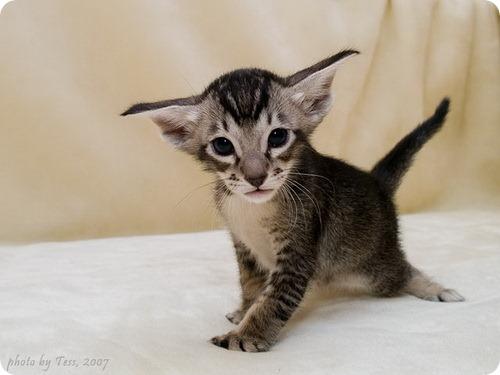 Ориентальная кошка, фото ориентальной кошки.