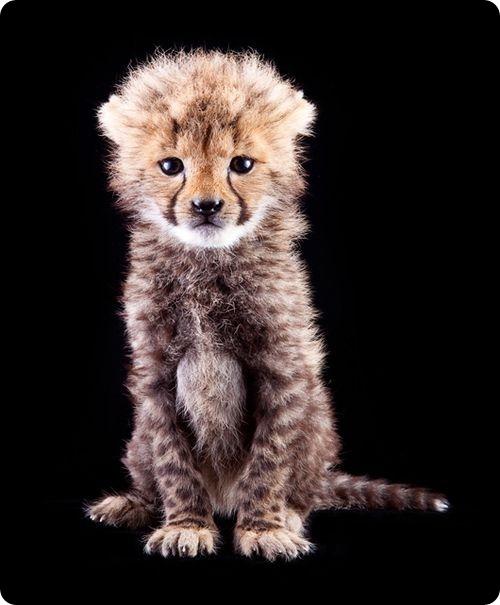 Маленькому гепарду из Буш Гарденс уже пять недель