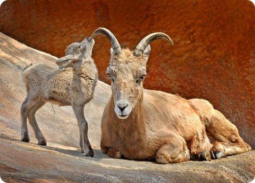 Малыш пустынной большерогой овцы