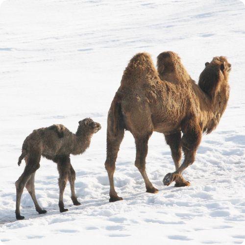 Это уже пятый теленок для самки верблюда по кличке Саня и восемнадцатый...