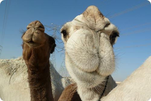 Огненные верблюды