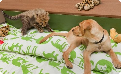 Новый компаньон для детеныша гепарда
