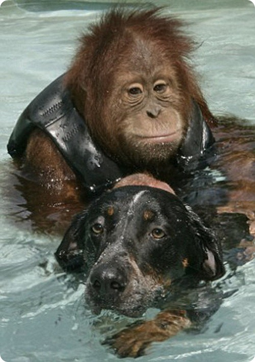 http://www.zoopicture.ru/wp-content/uploads/2011/07/dog_and_the_oranguta_06.jpg