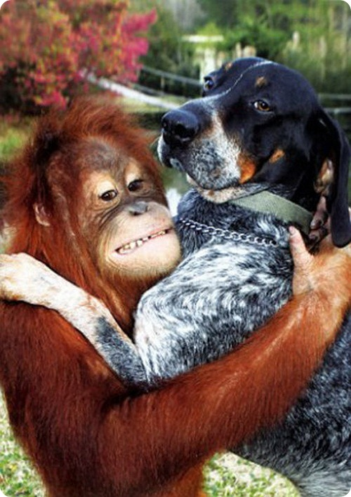 http://www.zoopicture.ru/wp-content/uploads/2011/07/dog_and_the_oranguta_09.jpg