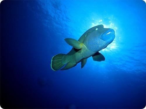 flickr/Armando de Luca.  Рыба-наполеон - одна из самых крупных...