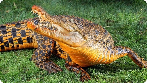 Снэппи – оранжевый крокодил