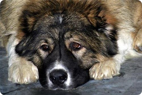 смотреть немецкая овчарка: питание щенка немецкой овчарки...