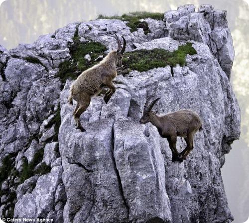 Смертельно опасные тренировки козерогов