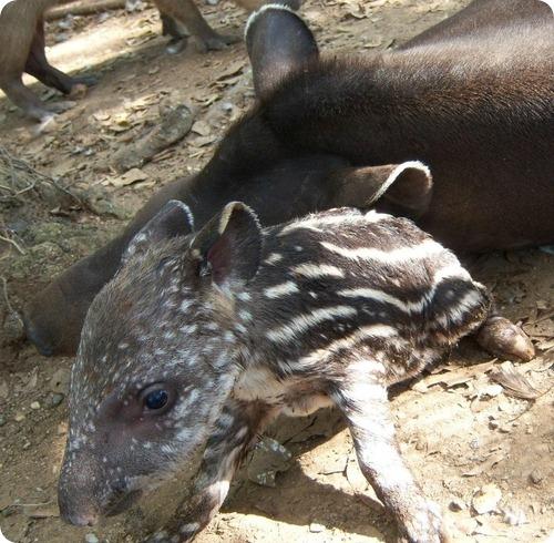Равнинный тапир из Венесуэлы