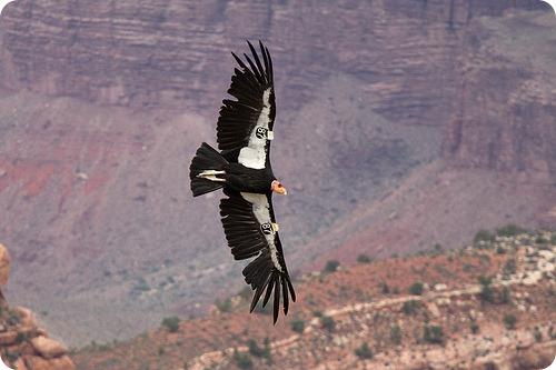 Калифорнийский кондор