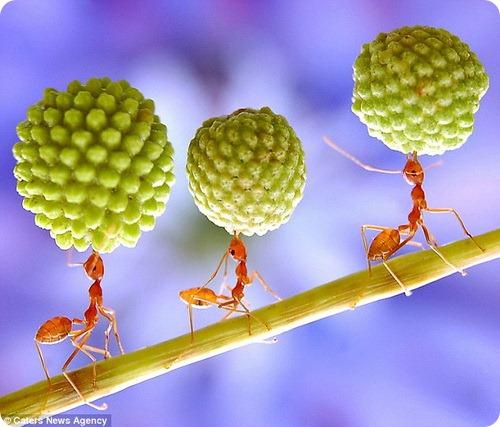 Огненные муравьи - тяжеловесы