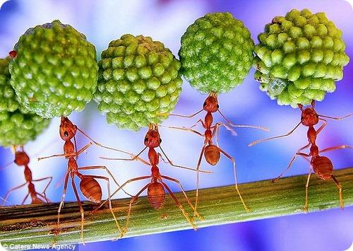 ...колониях имеются рабочие муравьи, самцы и муравьиные матки (королевы).