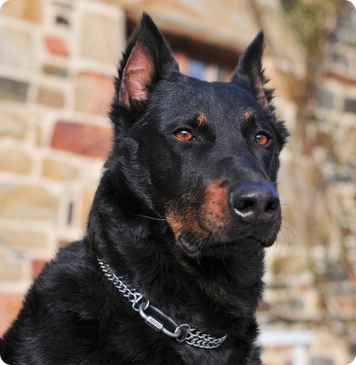 Beauceron or French Shepherd