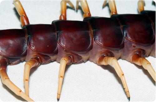 Гигантская сколопендра