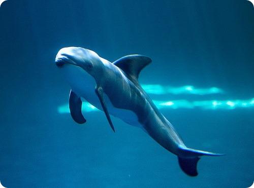 Тихоокеанский короткоголовый дельфин из Чикаго