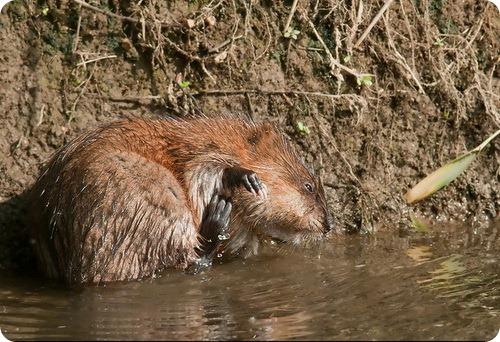 Ондатра или мускусная крыса (лат. Ondatra zibethicus)